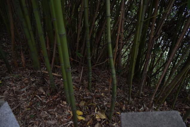 布袋竹,ほていちく,